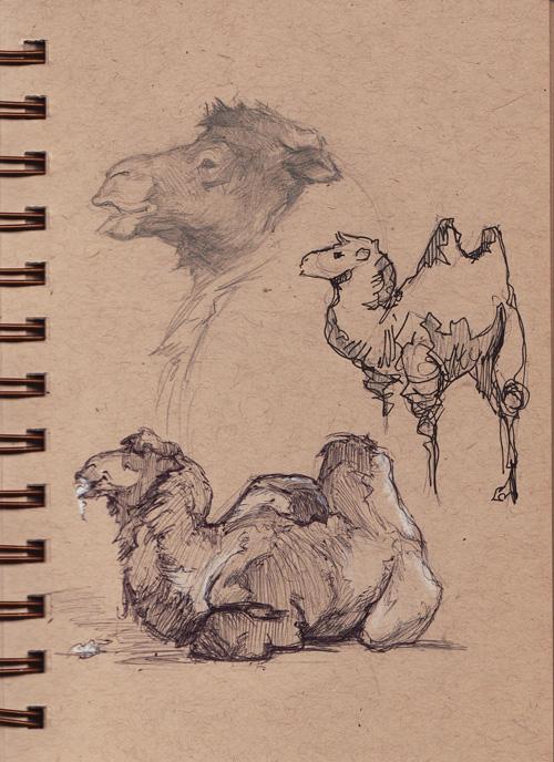 zoo_camels.jpg
